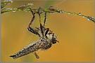 Raubfliege mit Mücken