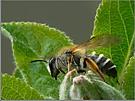 Seidenbiene