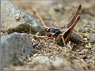 Strauchschrecke
